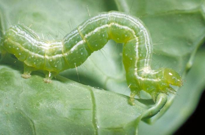 Lollar-Cabbage-Looper