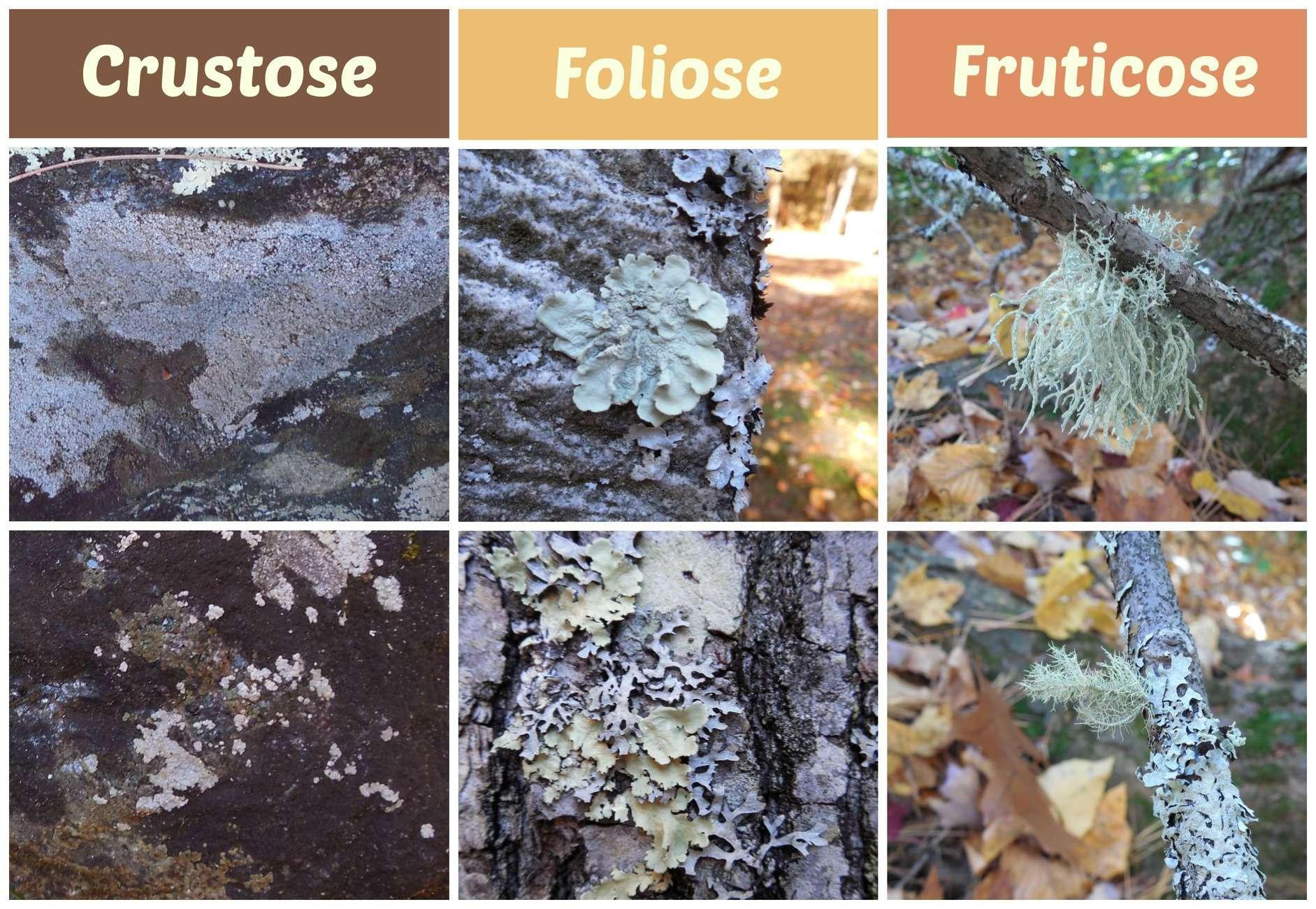types_of_lichen