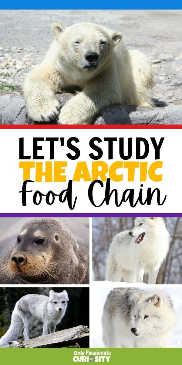 Have you ever thought about how simple things like food chains differ so much from one area to another? Today is the first in a series of articles and printables we'll be sharing with you about food chains in different areas of the world. The first article and printable in this series is this Arctic Food Chain Coloring Book. It's simple enough for younger children to use but can easily be a great jumping off point for a study for children who are a little older too!