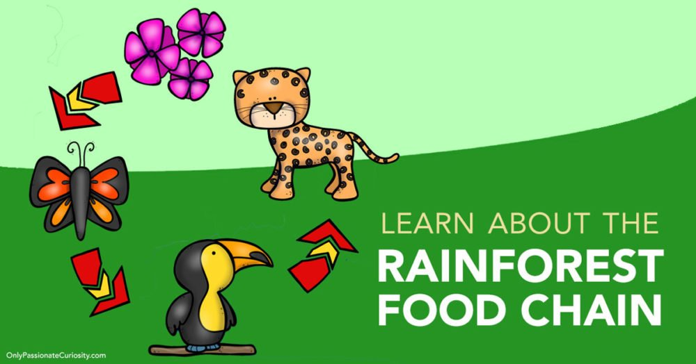 food chain for rainforest